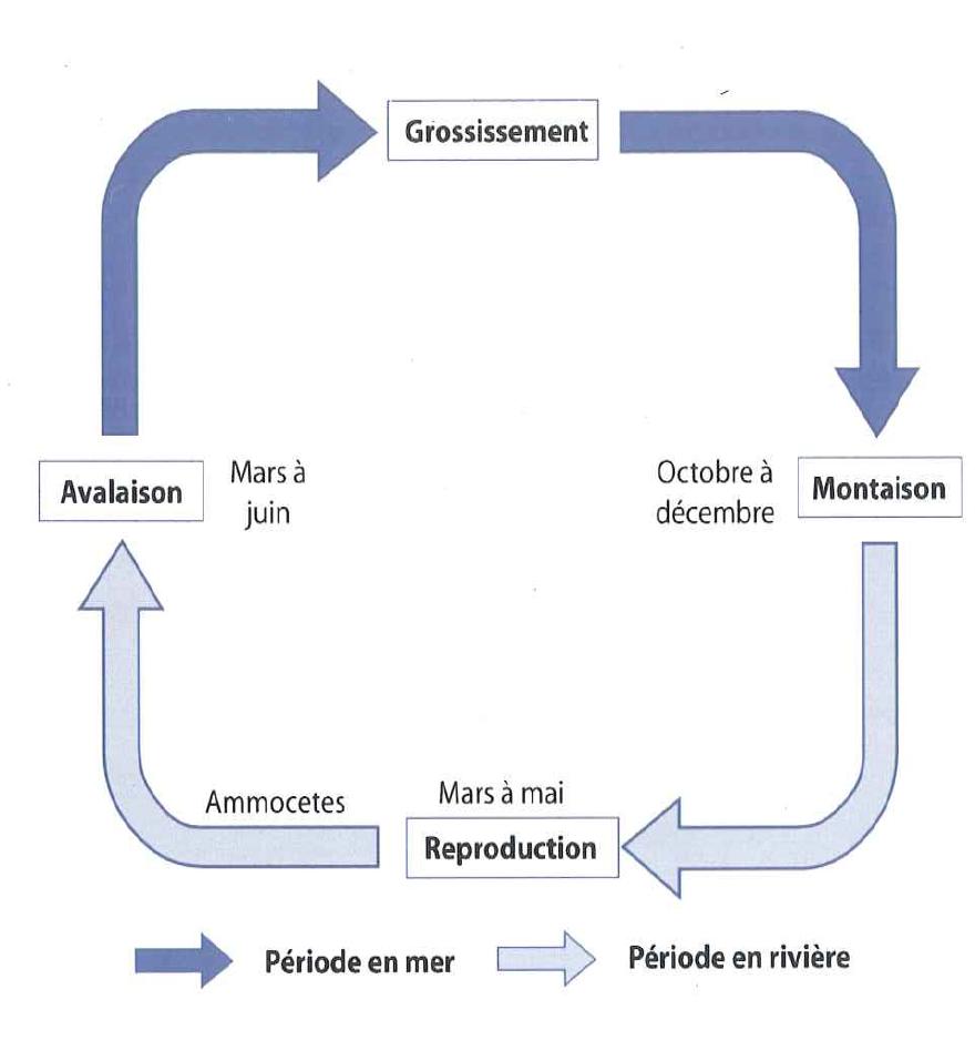 ciclo lamprea